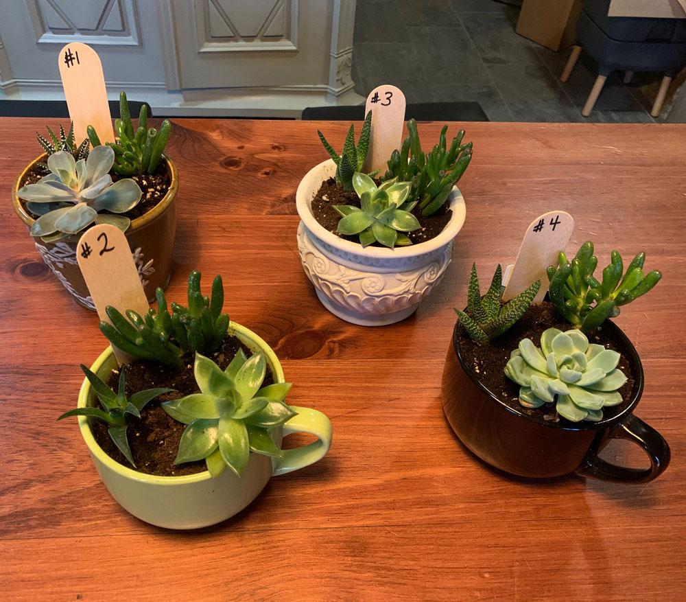 Medium Succulent